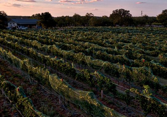 Dusk over Blackmon Ranch Vineyard